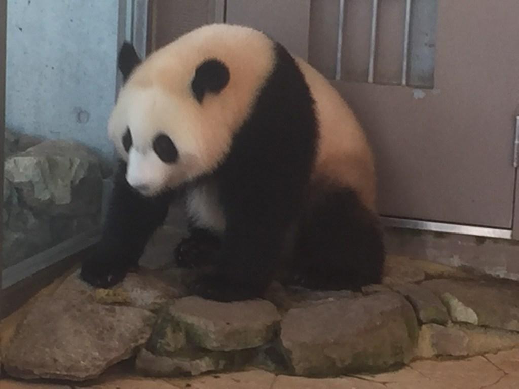 とびらの向こうに行きたいパンダ