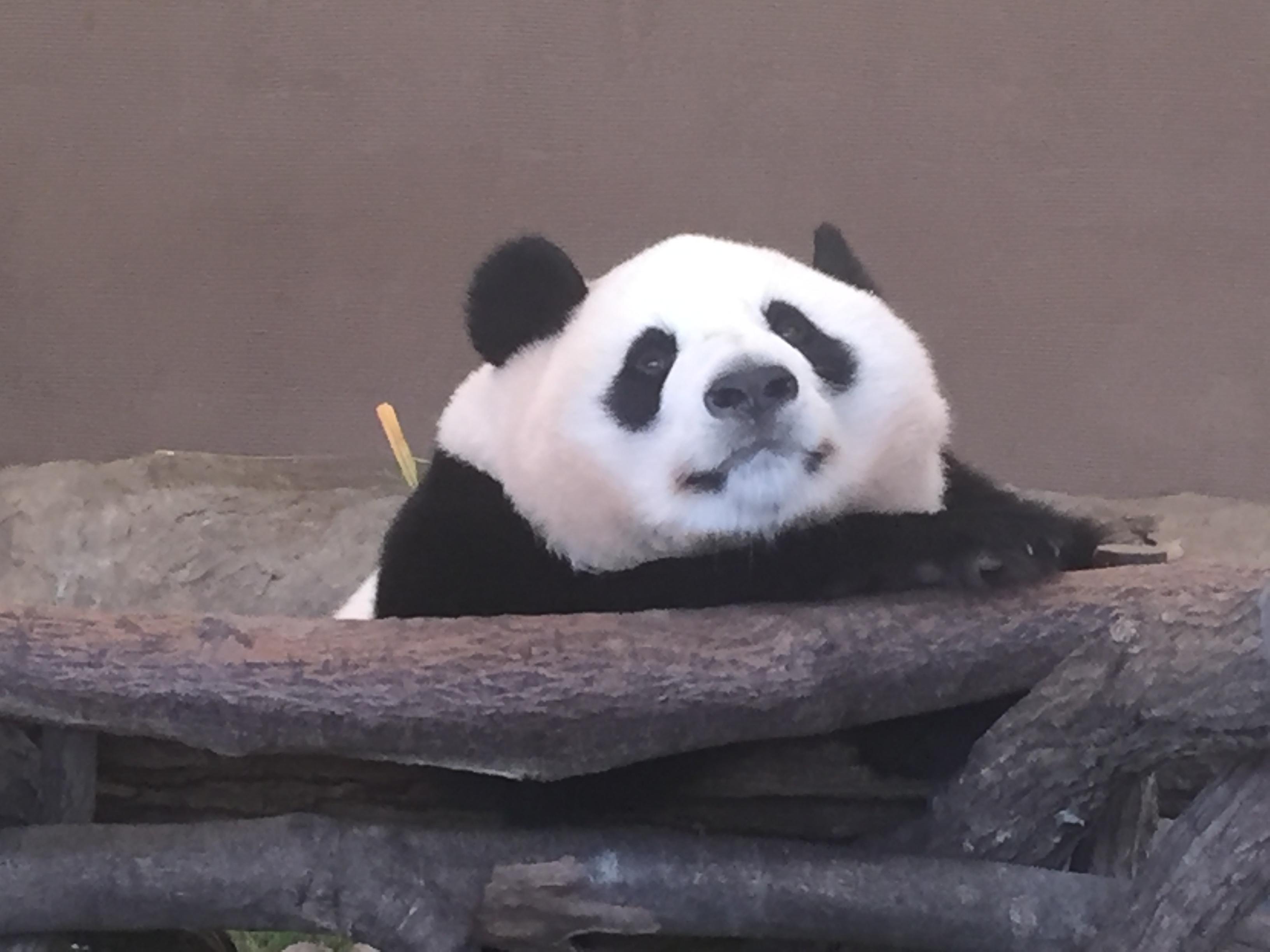 わしを見つめるパンダ