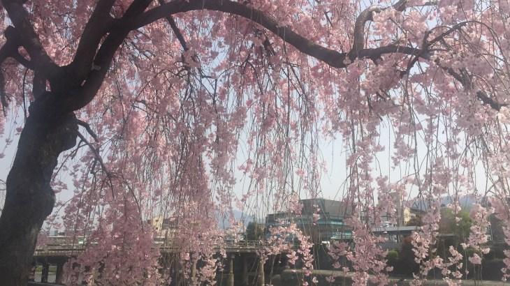京都ひとり旅で見つけた!桜の名所を紹介します。