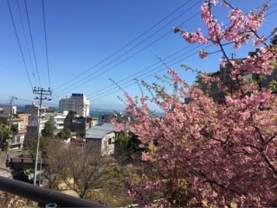 熱川駅の河津桜