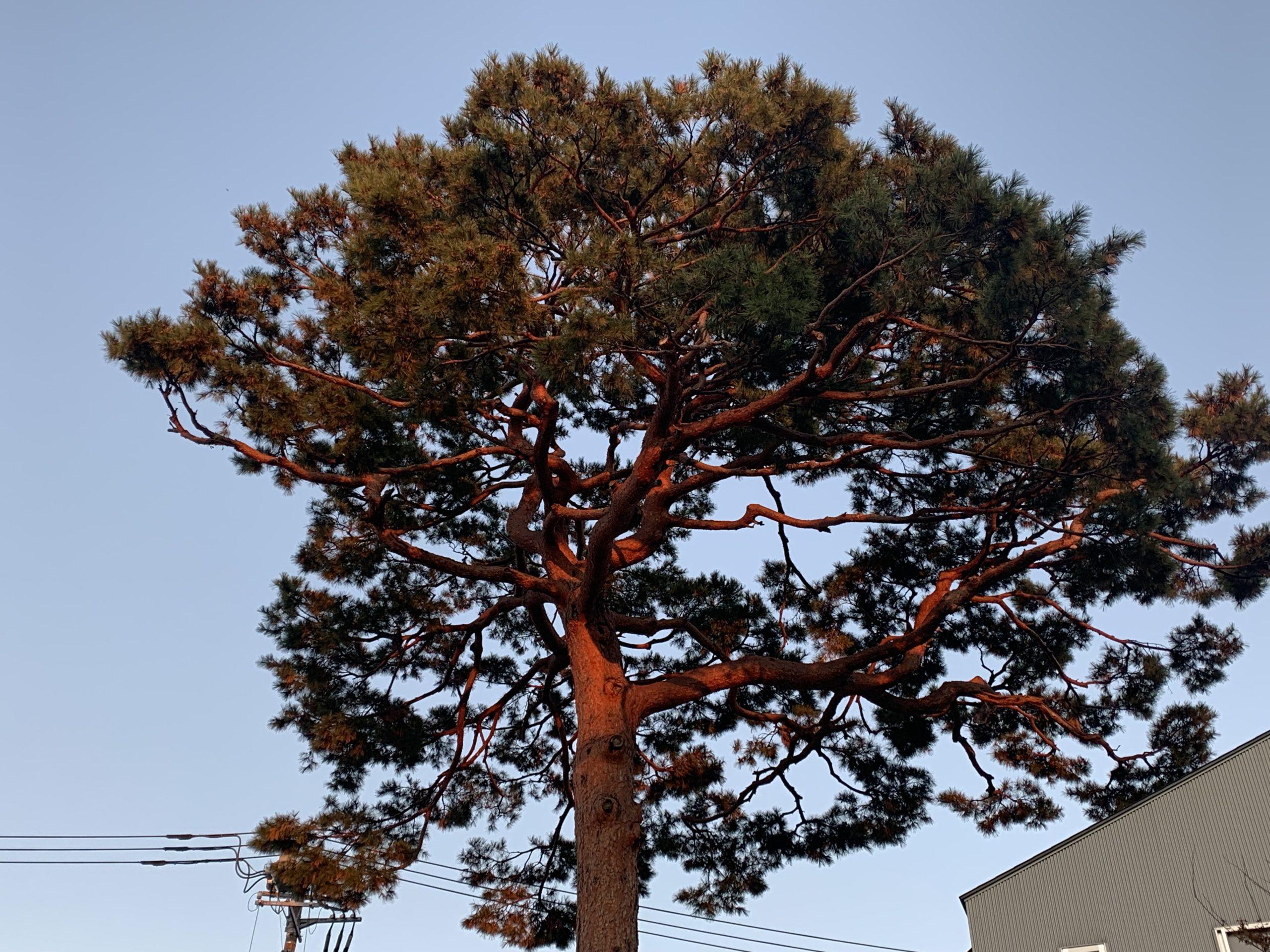 世田谷の赤松