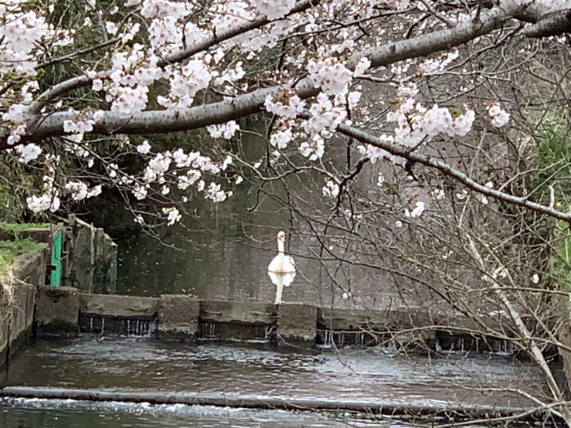 千葉県今井の桜と白鳥