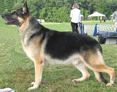 german_shepherd_h02-3865