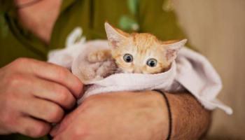 681357033a73 Σπουδαία ανακάλυψη -Κολάρο μετατρέπει το νιαούρισμα της γάτας σε ...