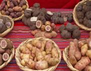 As top potato-producing country in Latin America, Peru's crops still face pests