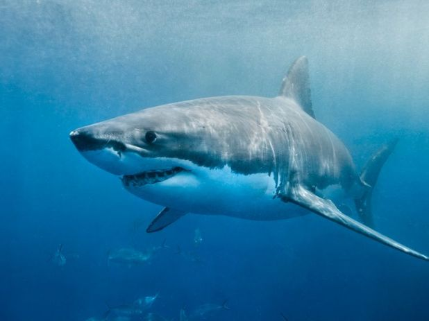 A medium-sized great white has been spotted in the area twice over the past week (file image)