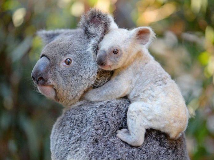 A rare baby white koala Rare white baby koala born at Australia Zoo is looking for a name Rare white baby koala born at Australia Zoo is looking for a name 5dc24df18dc941db927ed16f2aa335194e53bfb494d9927e3267ce222e64e89c 4079953