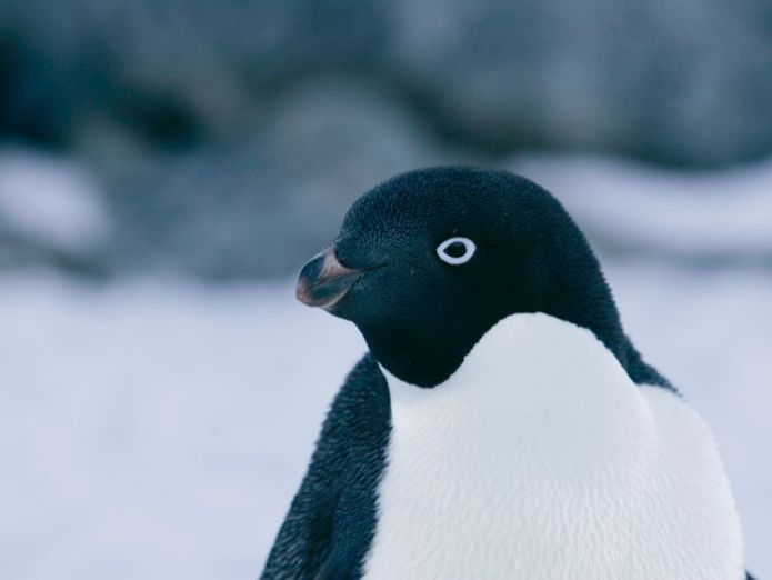 An Adelie penguin is pictured at Cape Denison, Commonwealth Bay, East Antarctica in this December 16, 2009 file photo 'Supercolony' of 1.5 million Adelie penguins found in Antarctica 'Supercolony' of 1.5 million Adelie penguins found in Antarctica skynews adelie penguin antarctica 4245068