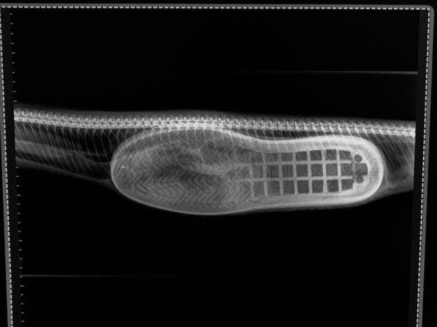 The vets operated on the animal and removed the slipper. Pic: Facebook/HerpVet