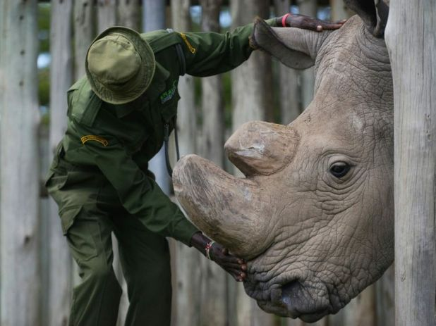 A caregiver calms Sudan, the last known male of the northern white rhinoceros subspecies