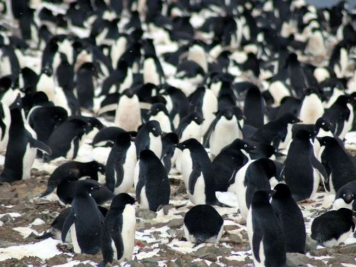 "Danger Islands Expedition Image (9): ""Nesting Adélie penguins, Danger Islands, Antarctica"" Pic: Michael Polito, © Louisiana State University  Krill fishing banned across much of the Antarctic under new deal skynews penguin adelie antarctica 4245125"