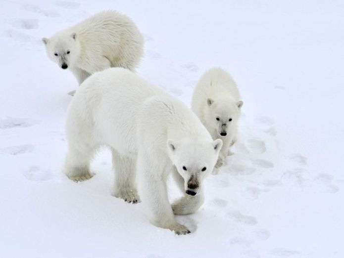 Polar bears could face extinction, researchers say global warming to wipe out 'many' animals in protected oceans Global warming to wipe out 'many' animals in protected oceans skynews polar bear climate change 4303444