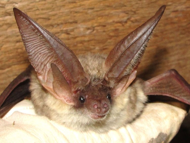 A grey long-eared bat is also on the list