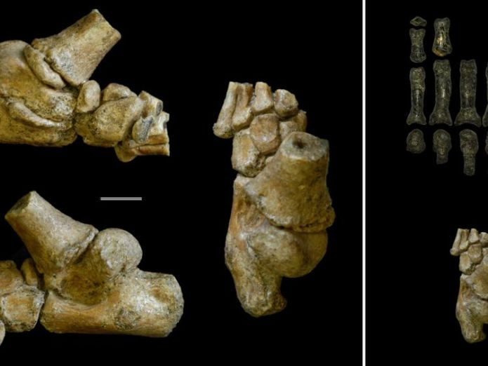 Left block of images: The 3.32 million year old foot from an Australopithecus afarensis toddler shown in different angles. Right block of images: The child's foot (bottom) compared with the fossil remains of an adult Australopithecus foot (top). Credit: Jeremy DeSilva & Cody Prang  Skeleton shows pre-human toddlers hid in trees for protection skynews human ancestor fossil 4353751