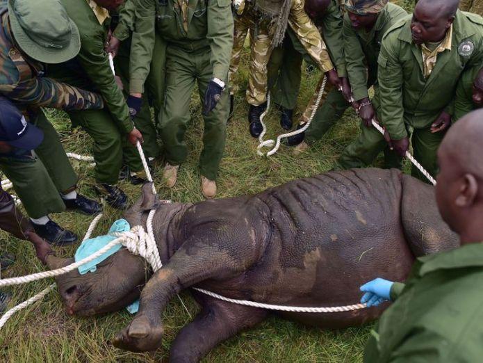 One of the rhinos is sedated before the journey  Eight endangered rhinos die after being taken to new national park in Kenya skynews rhino kenya 4361107