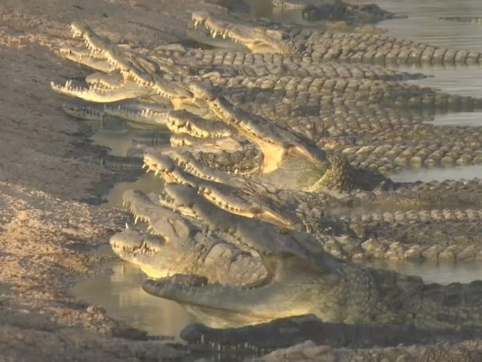 There are hundreds of crocodile in the valley  Growing fears that stranded crocodiles may spark an 'international incident' skynews crocodile jordan valley 4384746
