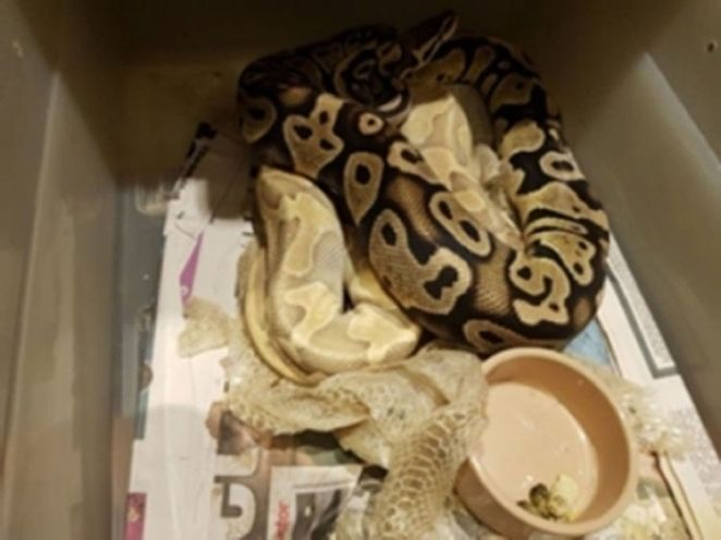 Sixteen live snakes were found in the bedroom