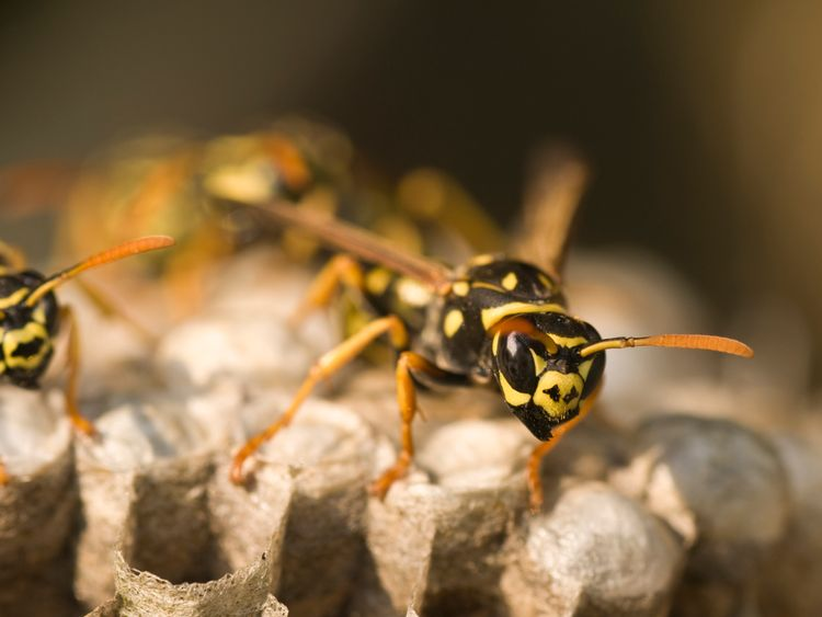 The wasps go in search for sugar when their queens go into hibernation