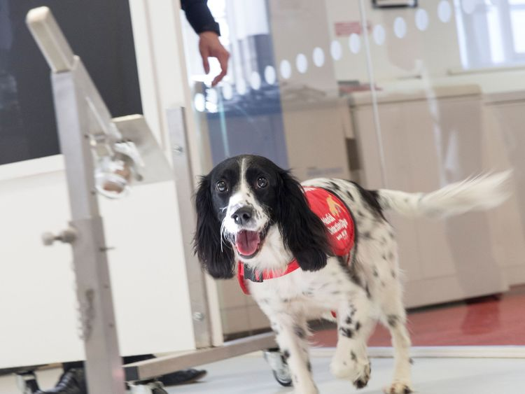 Springer Spaniel Freya who has been trained to detect malaria