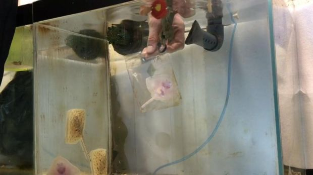 The premature baby ray was kept in a plastic bag for two months to save its life. Pics: Macduff Marine Aquarium