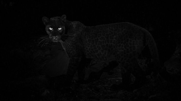 The leopards are even more difficult to capture than their spotty relatives. Pic: Will Burrard-Lucas