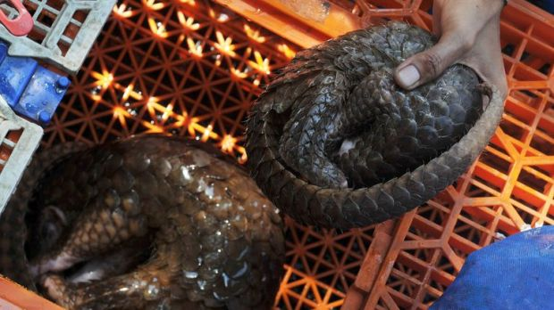 Pangolins are believed to be the most trafficked animals on Earth