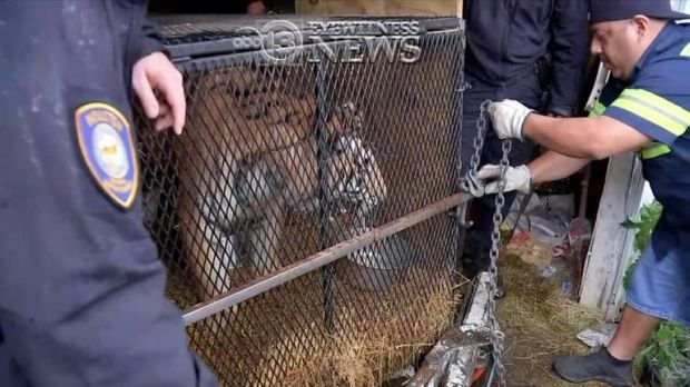 The tiger was rescued following the call. Pic: ABC News