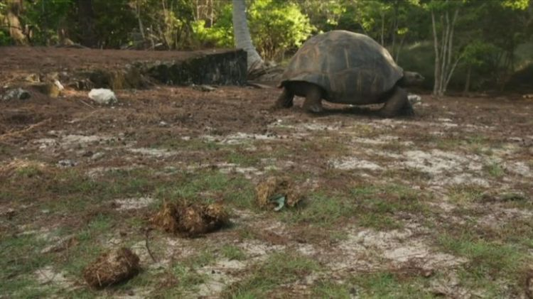 A flip-flop was found in the dung of this tortoise