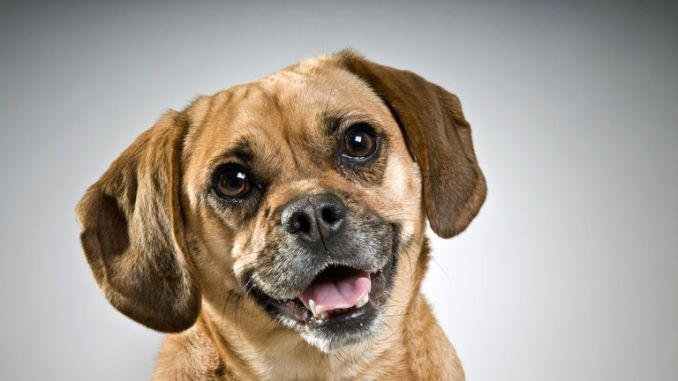 'Puggle' - the term for a pug/beagle cross - is another new entry