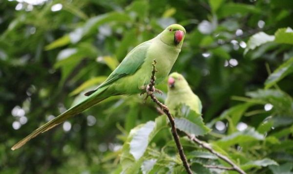 Scientists reveal why parakeets live in the UK - and it