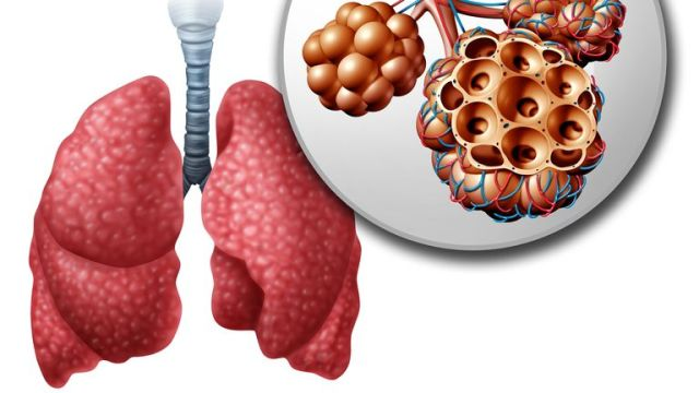 The 'broccoli shaped' organs in the lungs are called the alveoli