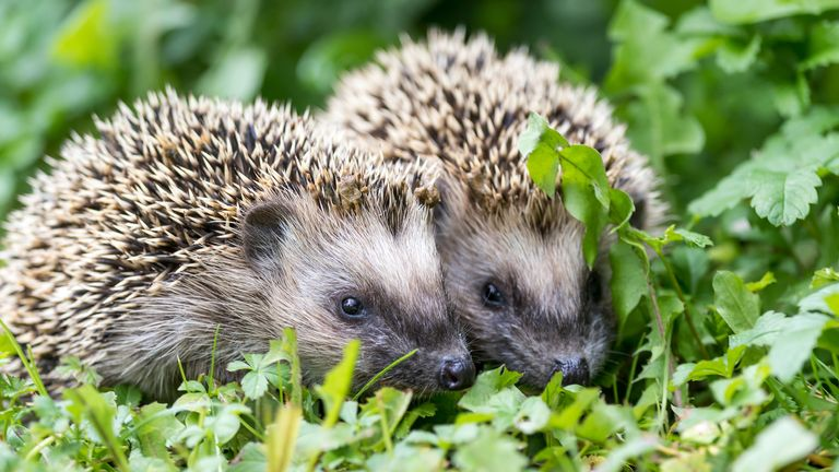 A pair of hedgehogs (file pic)