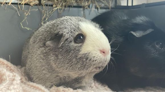 Undated handout photo issued by RSPCA Danaher Animal Home of Yuki (left) and Ami, a pair of guinea pigs looking for a new home. Ami, a six-year-old black guinea black guinea pig, is given guidance by her grey sister Yuiki because she is completely blind.