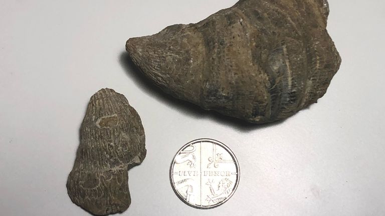 Undated flyer photo of the fossil from millions of years ago that six-year-old Siddak Singh Jhamat found in the garden after receiving a fossil hunting kit for Christmas. Siddak, known as Sid, said it was him