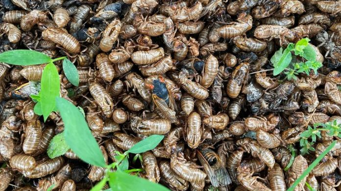 The insects, seen here at the base of a tree in New Jersey, delayed the White House media pack