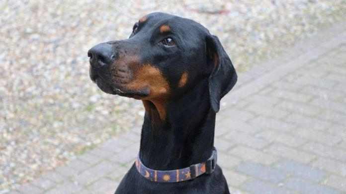 A Dobermann with natural ears. Pic: RSPCA