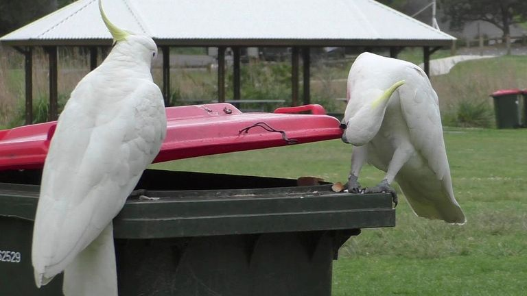A sulfur-capped cockatoo watches as another opens a bi in Sydney in 2019