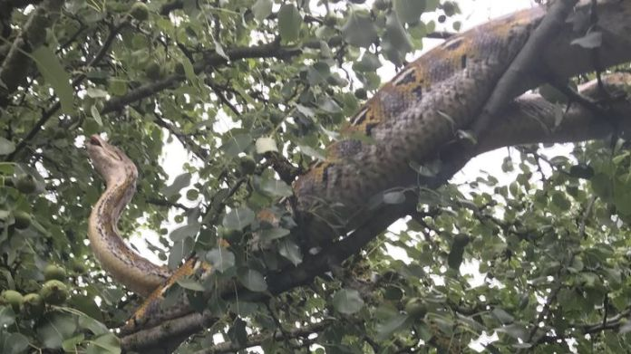 10ft long reticulated python rescued from a tree in Cambridgeshire