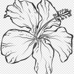 Hibiscus Illustration Line Art Black And White Drawing Line Drawing Flowers White Leaf Png Pngegg