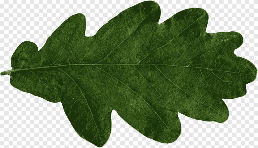 feuille feuille chene png