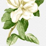Painted White Jasmine Material Jasmine Flower Png Pngegg