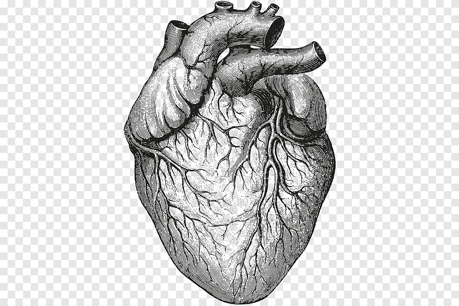 Heart Sketch Heart Anatomy Physiology Ii Organ Drawing Human Heart Hand Heart Png Pngegg
