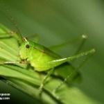 A História do Gafanhoto Verde