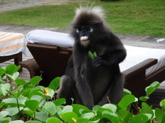 Dusky leaf monkey can't stop nomming!
