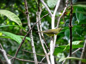 Guessing this is a copper-throated sunbird?