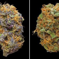Left: Sour grape, a potent hybrid effective for stress reduction. Right: Dirty Hairy, a sativa-dominant hybrid that is effective for migraine and depression relief