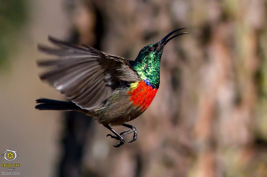Tiny and Busy (Greater Double-collared Sunbird)