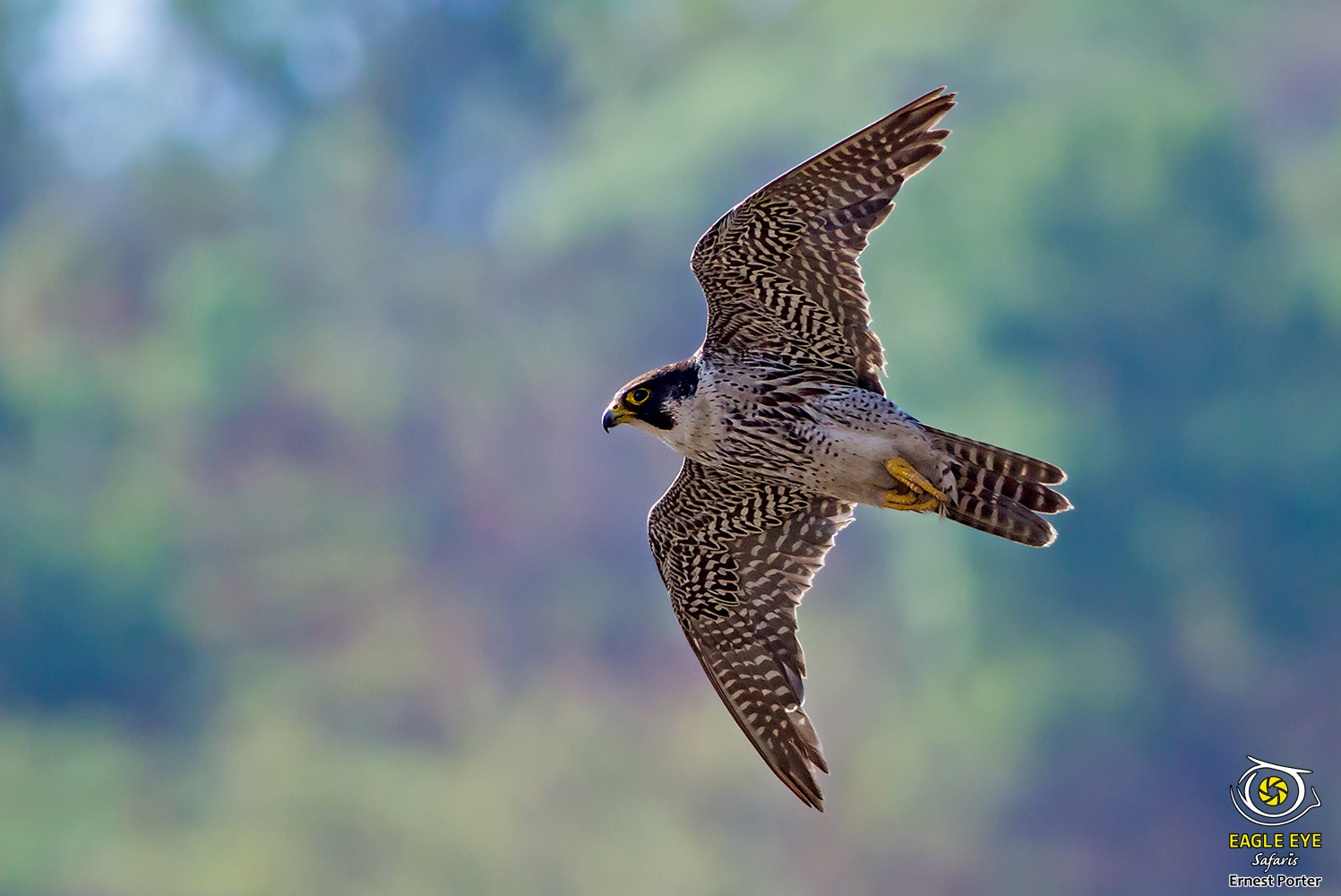 Speed Demon (Peregrine Falcon)