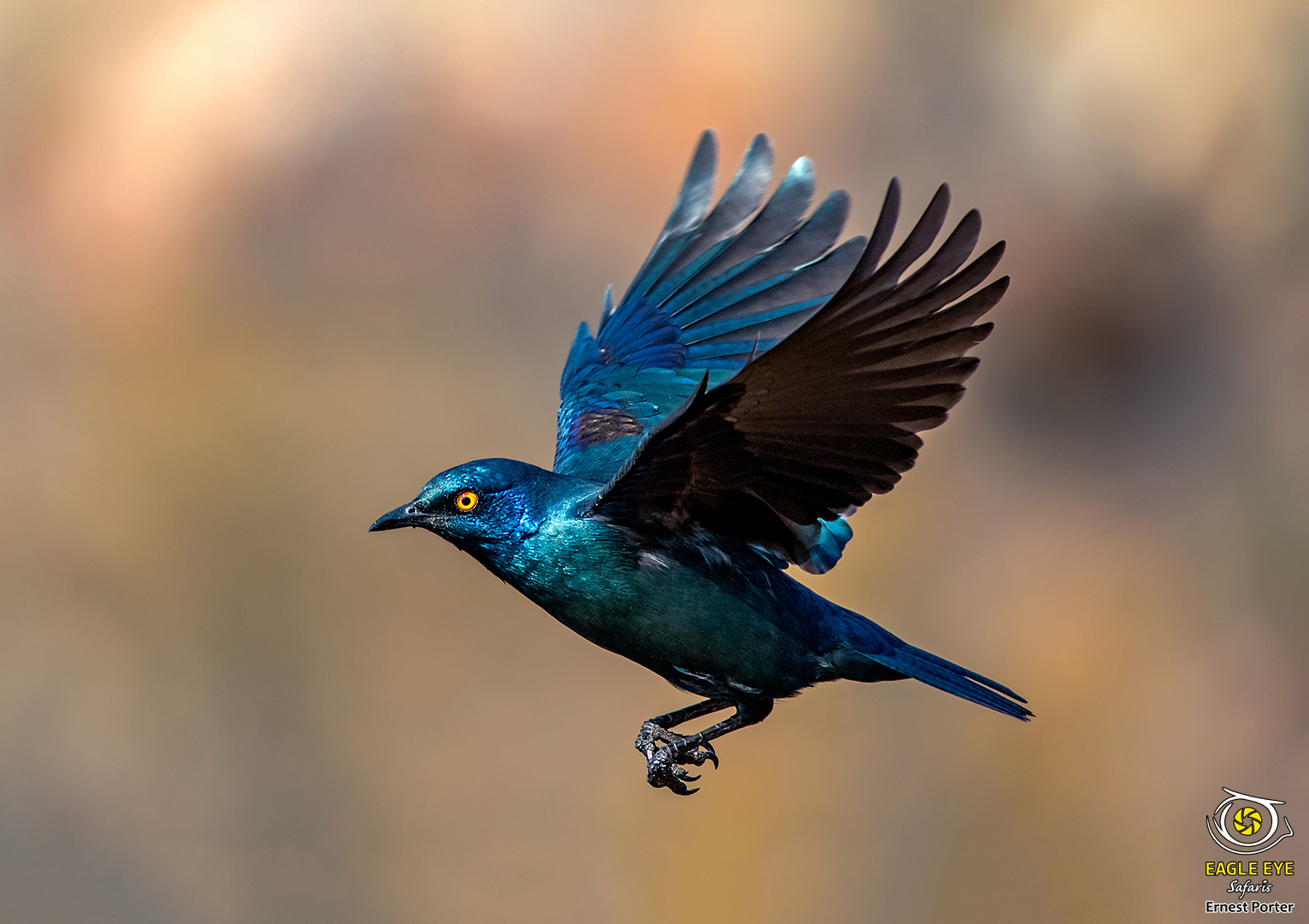 Flying Blue (Cape Glossy Starling)