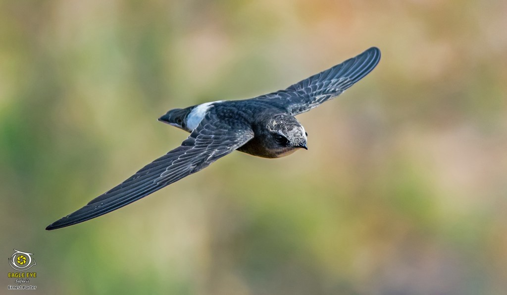On Swift Wings (Little Swift)